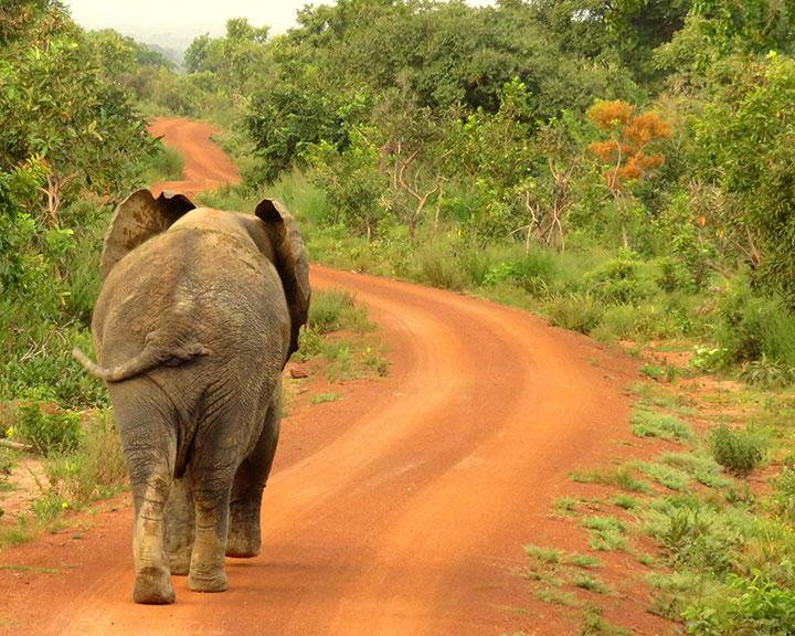 Elephant Ghana