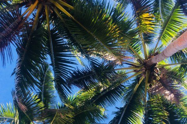 Palmtrees Fiji