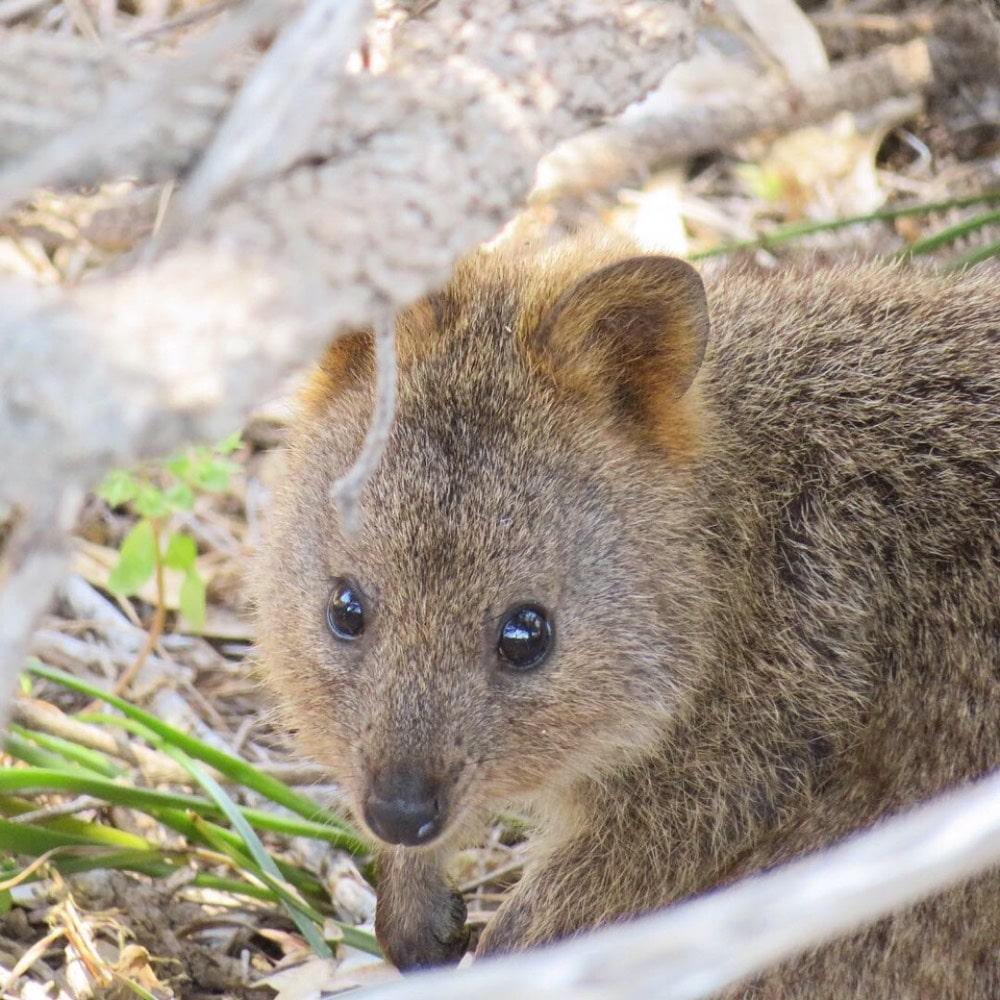 Australia; Rottnest Island, Quokka