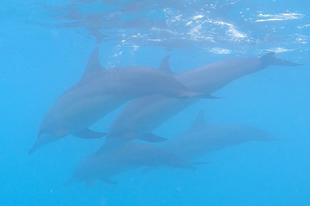 maldives swimming with dolphins daytour