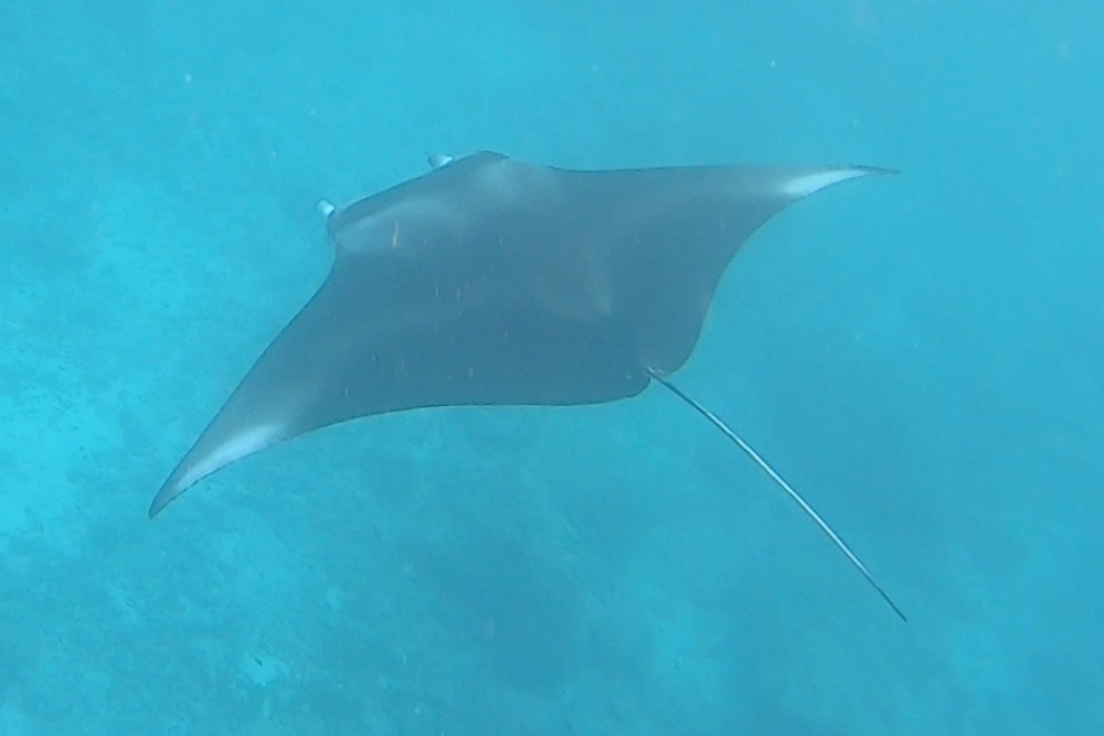 maldives swimming with manta rays daytour